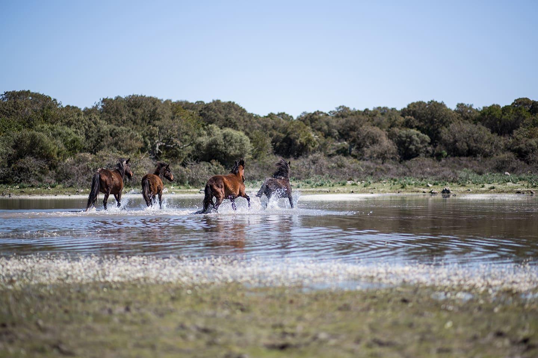 Cavallini-della-Giara-di-Gesturi