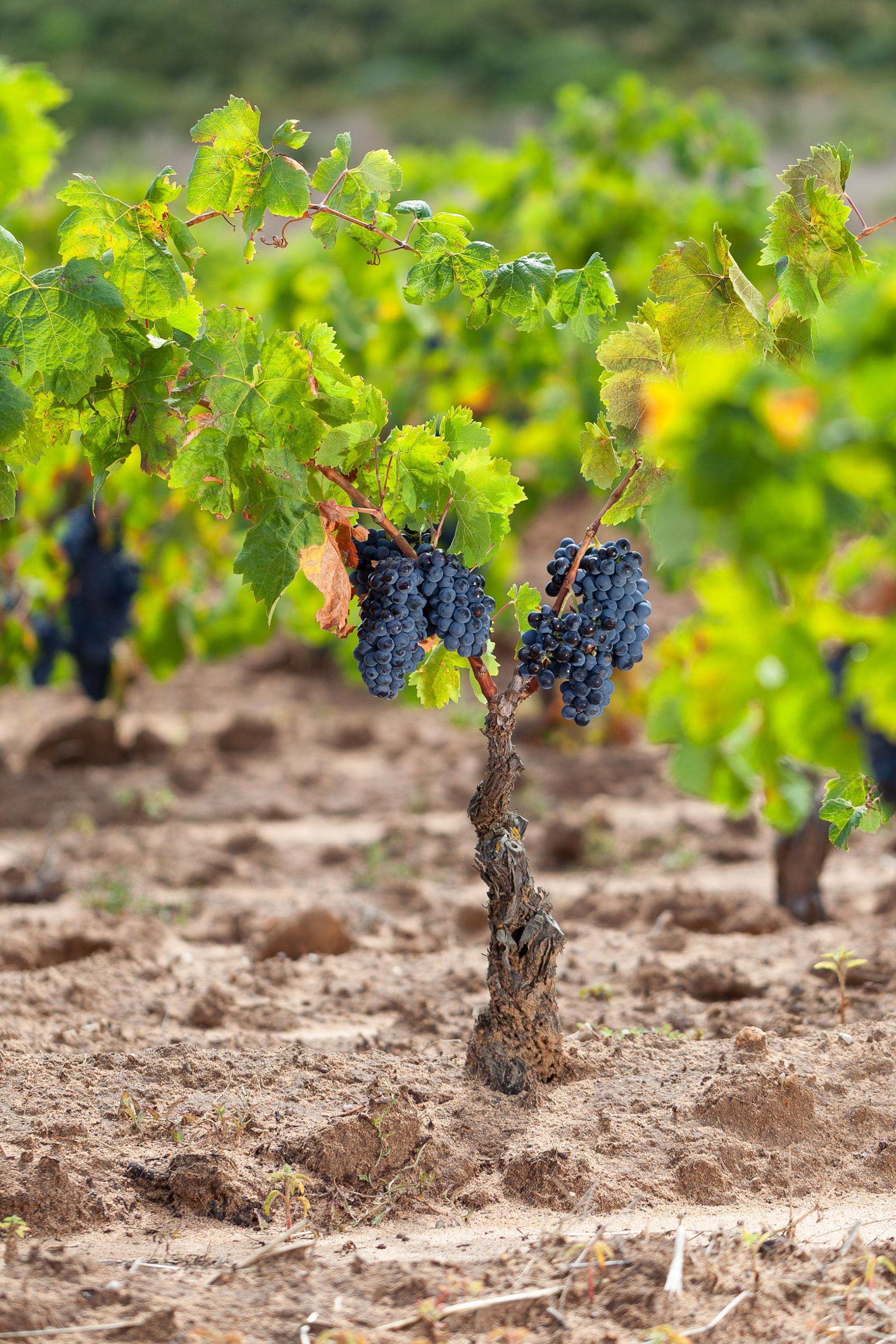 Cannonau, der Wein der Hundertjährigen