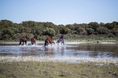 Cavallini della Giara di Gesturi